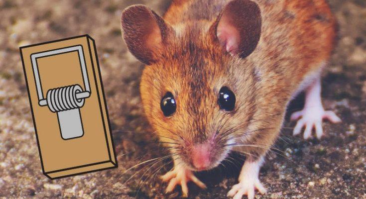 anti souris 10 trucs et r pulsifs contre les souris. Black Bedroom Furniture Sets. Home Design Ideas