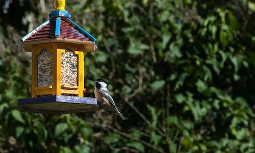 Attirer les oiseaux dans une mangeoire