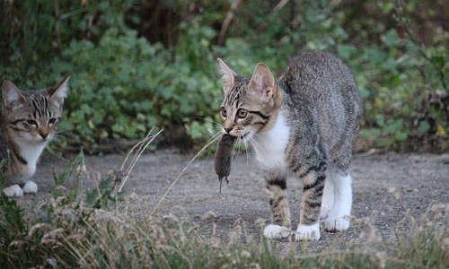 Un chat pour chasser les souris