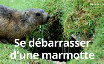 comment se débarrasser des marmottes