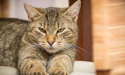 Faire opérer son chat contre l'odeur d'urine de chat