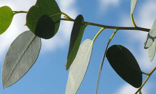 Inhalation eucalyptus pour déboucher son nez rapidement