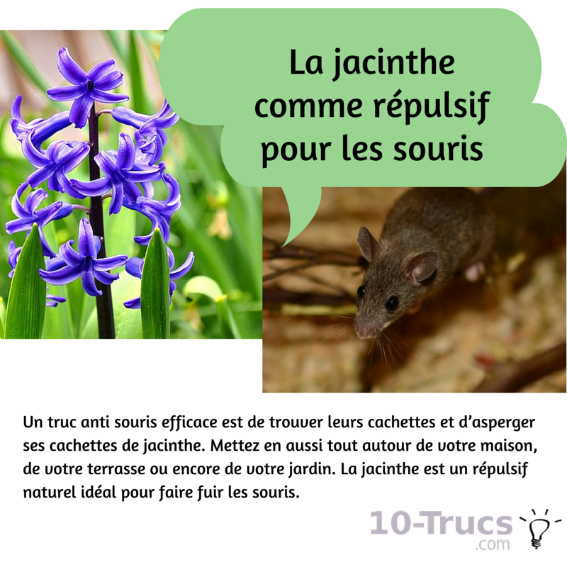 jacinthe anti souris, jacinthe contre les souris,