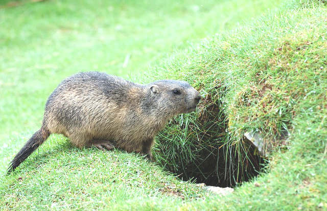 éloigner les marmottes,