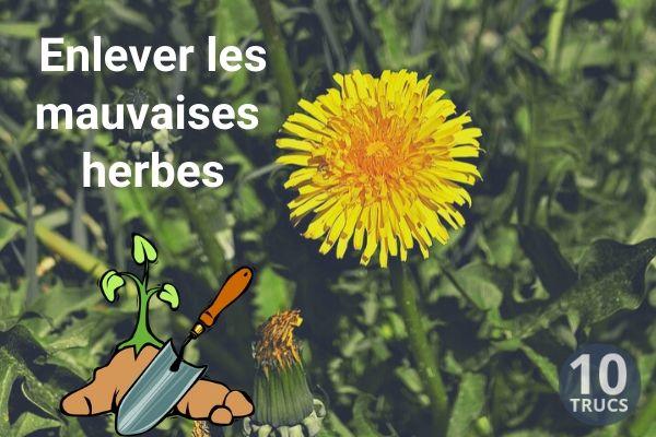 Enlever les mauvaises herbes dans le gazon