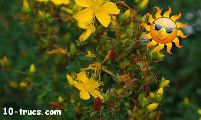 millepertuis remède naturel contre les coups de soleil