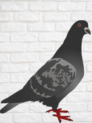 Recette de grand-mère pour faire fuir les pigeons de la maison
