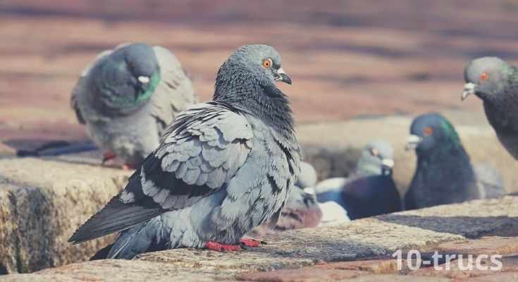 Répulsif naturel pour faire fuir les pigeons