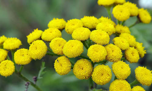 tanaisie plante répulsive anti fourmis