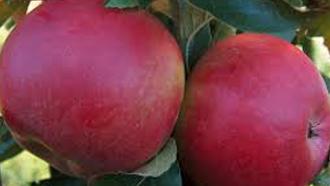 truc pommes, astcue pomme, trucs à faire avec des pommes,