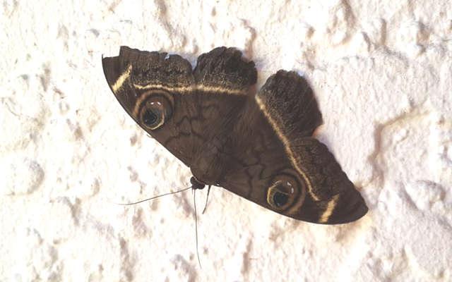 papillon de nuit dans la maison