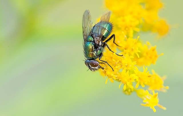 Répulsif naturel contre les mouches