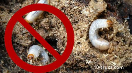 tuer les larves d'hannetons avec des nématodes
