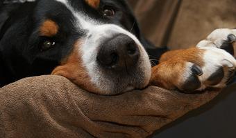 nettoyer les poils de chien, nettoyage poils de chien,