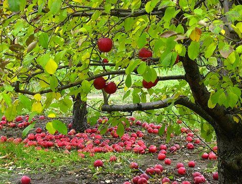 aller aux pommes, cueillir des pommes,