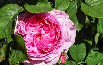 avoir de beaux rosiers, truc rosier naturel,