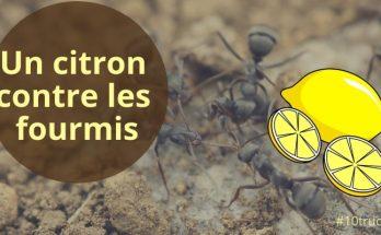 citron contre les fourmis