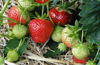 cultiver des fraises, cultiver des fraisiers,
