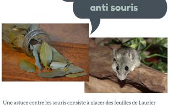 feuille de laurier anti souris, feuille de laurier contre les souris,