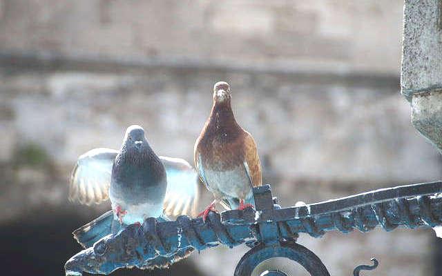 chasser les pigeons,