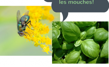 basilic contre les mouches, basilic anti mouche,