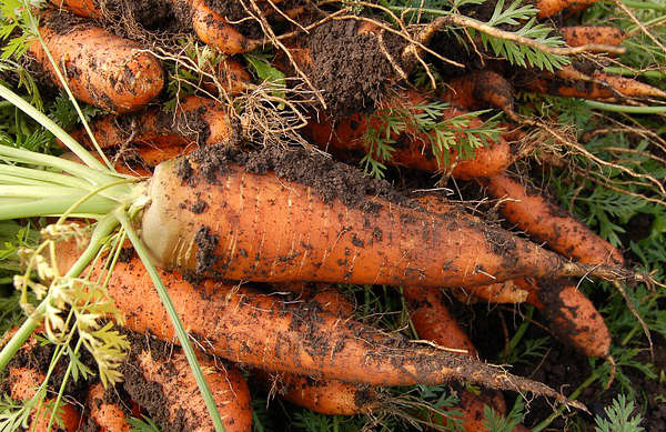 cultiver des carottes, faire pousser des carottes,