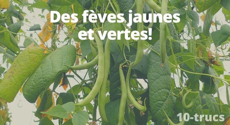 Astuce pour faire pousser des fèves jaunes et vertes dans le jardin potager.