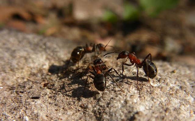 truc anti fourmis, truc pour éloigner les fourmis,
