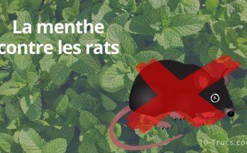 La menthe contre les rats et souris