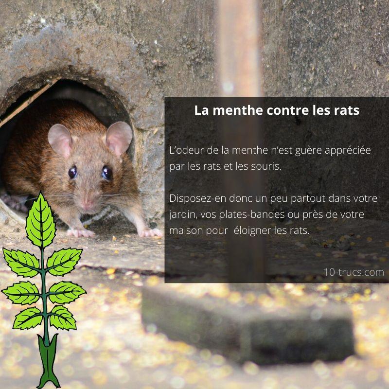 La menthe pour éloigner les rats