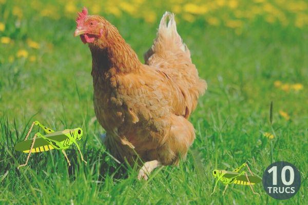Les poules aiment beaucoup les sauterelles