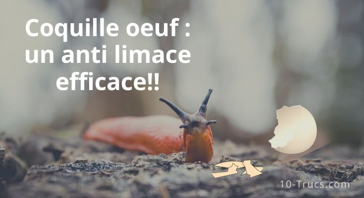 Coquille d'œuf comme anti limace