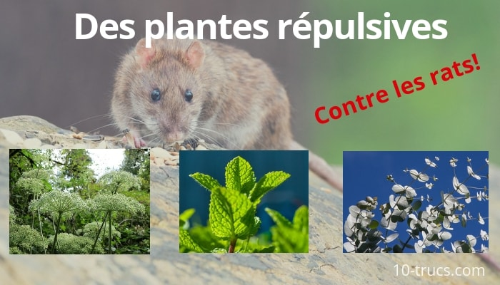plante répulsive anti rat