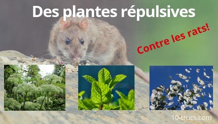 plante répulsive pour repousser les rats dans le jardin et la maison
