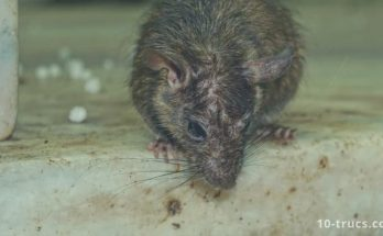 Répulsif anti rat et piège à rat