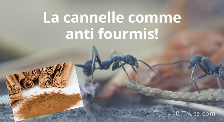 La cannelle , un anti fourmis efficace