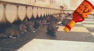 Répulsif naturel contre les rats