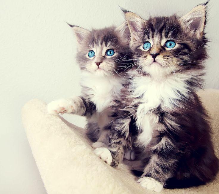 yeux bleus chats,