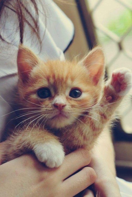 chaton roux,