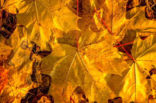 feuilles mortes, feuilles d'automne,