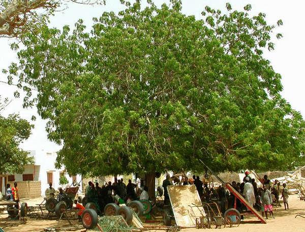 margousiser, un arbre anti moustique