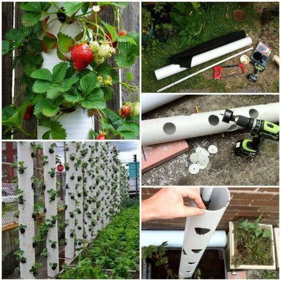 Jardin vertical avec des tuyaux de PVC pour plants de fraises