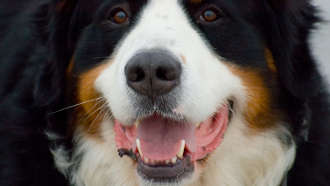 comment brosser les dents du chien
