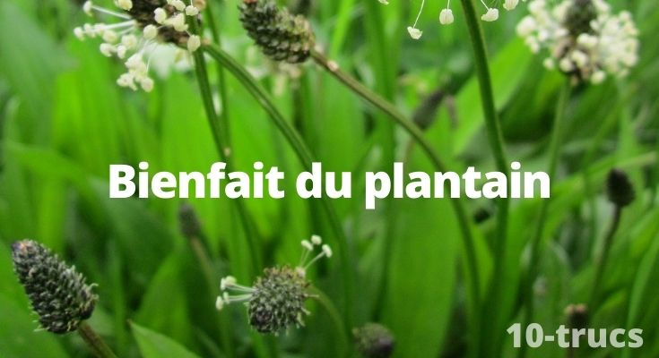 tous les bienfaits du plantain lancéolé