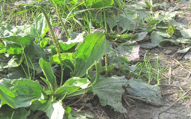 plantain, mauvaises herbes, bienfait et utilisation