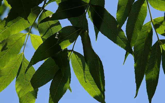 feuilles de frêne pour maigrir sainement