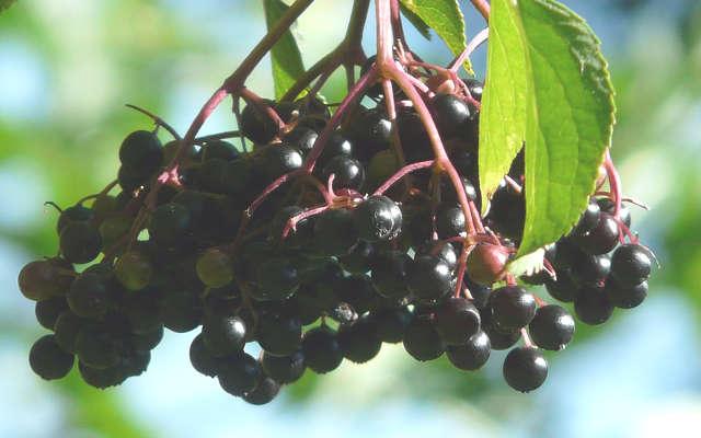 sureau noir plante pour maigrir