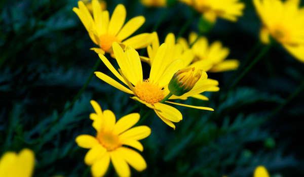 chrysanthèmes plante répulsive et anti insecte