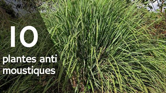 plante anti moustique pour vite éloigner les moustiques
