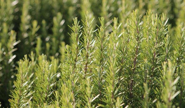 romarin , plante anti limace